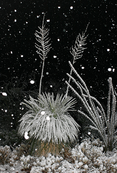 Snow-covered Soaptree Yuccas (Yucca elata) and Ocotillo (Fouquieria splendens) in Tucson, January 21, 2007