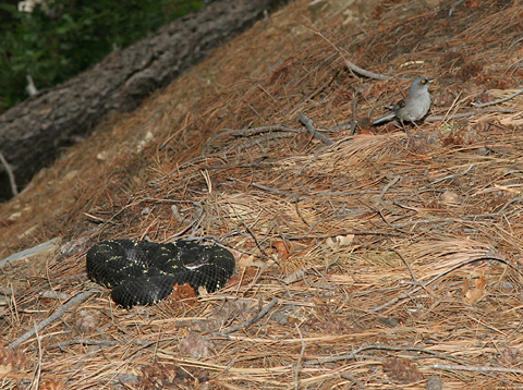 Yellow-eyed Junco (Junco phaeonotus) near an Arizona Black Rattlesnake (Crotalus cerberus)