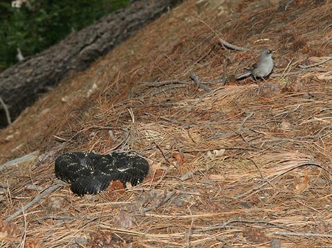 Yellow-eyed Junco (Junco phaeonotus) near an Arizona Black Rattlesnake (Crotalus cerberus)