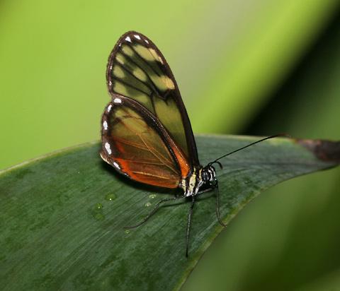 Glasswing Butterfly in Alajuela, Costa Rica