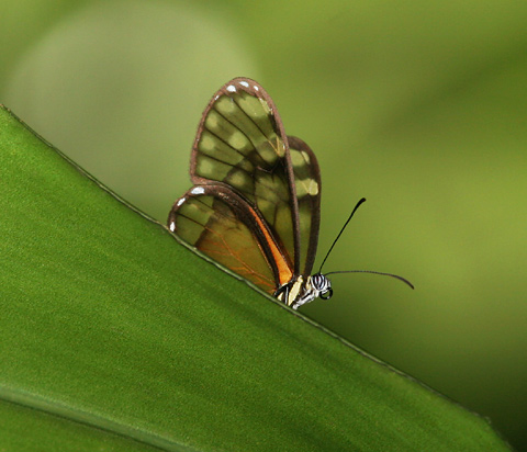 Glasswing Butterfly in Alajuela, Costa Rica