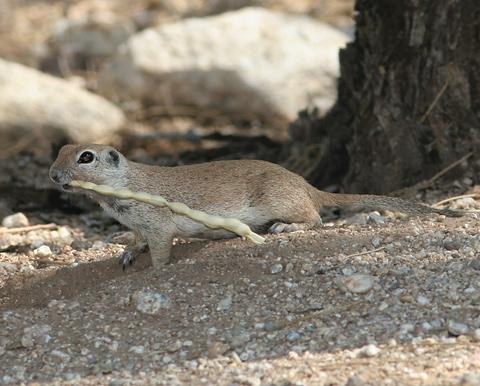 Round-tailed Ground Squirrel (Spermophilus tereticaudus) with a Velvet Mesquite (Prosopis velutina) bean