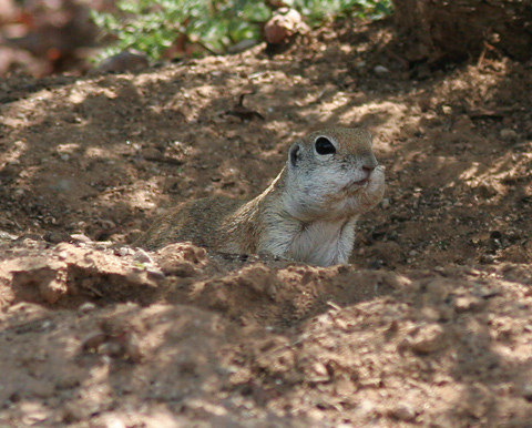Round-tailed Ground Squirrel (Spermophilus tereticaudus) with bulging cheek pouches
