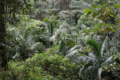 Palm trees in the cloud forest near San Gerardo de Dota, Costa Rica