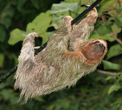 Female Brown-throated Three-toed Sloth (Bradypus variegatus)