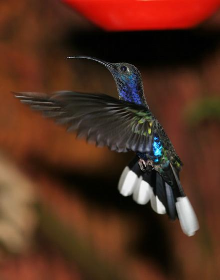 Male Violet Sabrewing (Campylopterus hemileucurus) hummingbird