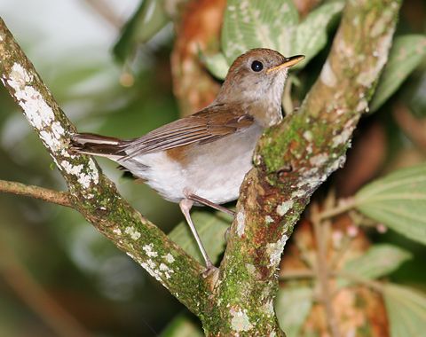 Ruddy-capped Nightingale-thrush (Catharus frantzii)