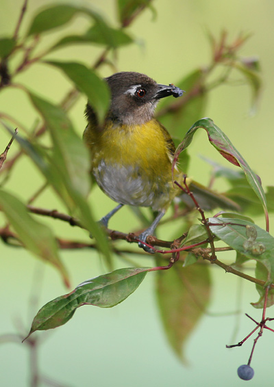 Common Bush-Tanager (Chlorospingus ophthalmicus) eating a crushed berry