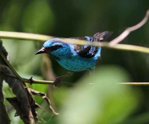 Male Blue Dacnis (Dacnis cayana)