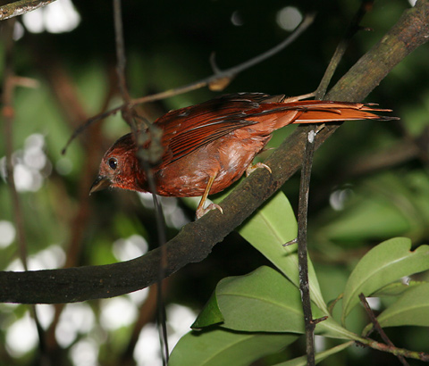 Male Red-crowned Ant Tanager (Habia rubica)