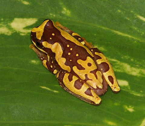 Hourglass Treefrog (Hyla ebraccata)
