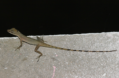 Slender Anole (Norops limifrons or Anolis limifrons)