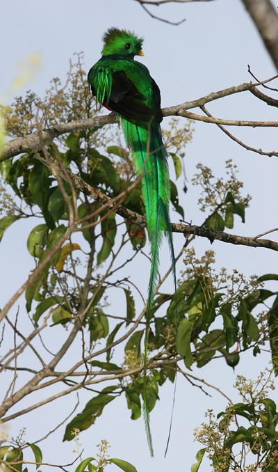Male Resplendent Quetzal (Pharomachrus mocinno) in an Aguacatillo or Wild Avocado (Persea sp.) tree