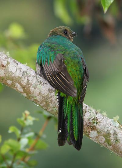 Female Resplendent Quetzal (Pharomachrus mocinno)