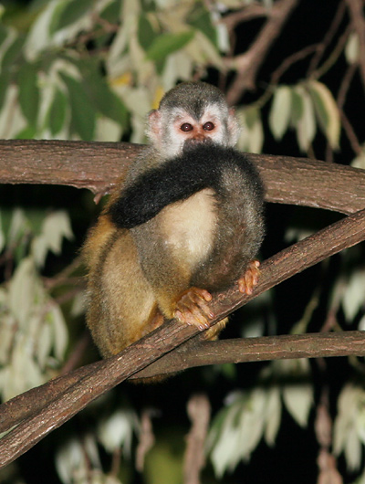 Central American Squirrel Monkey (Saimiri oerstedii)