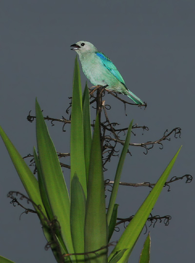 Blue-gray Tanager (Thraupis episcopus) singing