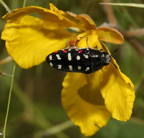 Acmaeodera gibbula beetle