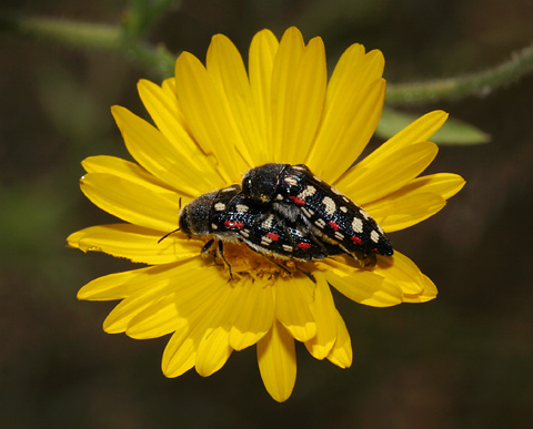 Mating Acmaeodera gibbula beetles on a Camphorweed (Heterotheca subaxillaris) flower
