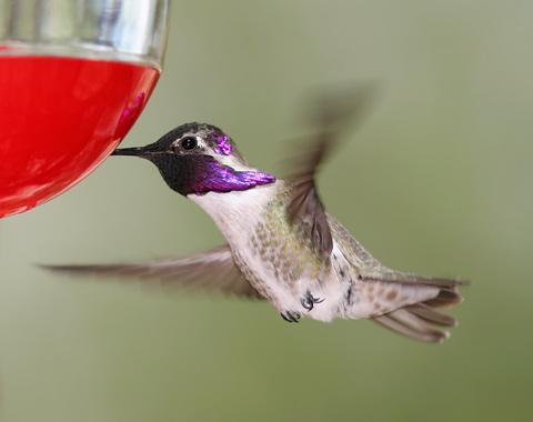 Male Costa's Hummingbird (Calypte costae)