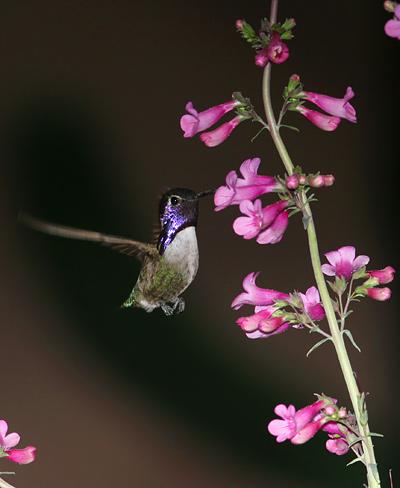 Male Costa's Hummingbird (Calypte costae) at Parry's Beardtongue (Penstemon parryi) flowers