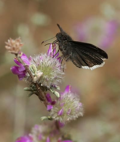 Funereal Duskywing (Erynnis funeralis) butterfly on Santa Catalina Prairie Clover (Dalea pulchra)