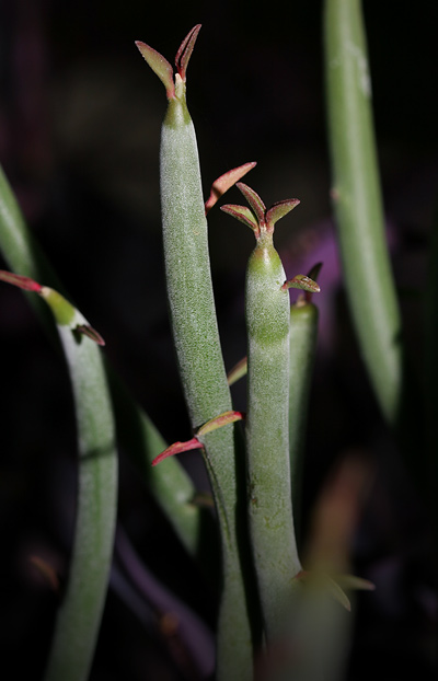 Slipper Plant or Candelilla (Pedilanthus macrocarpus)