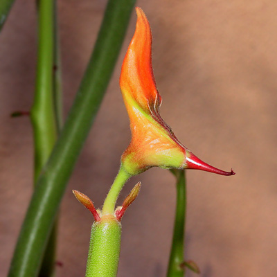 Slipper Plant or Candelilla (Pedilanthus macrocarpus) flower bud