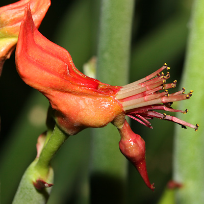 Slipper Plant or Candelilla (Pedilanthus macrocarpus) flower