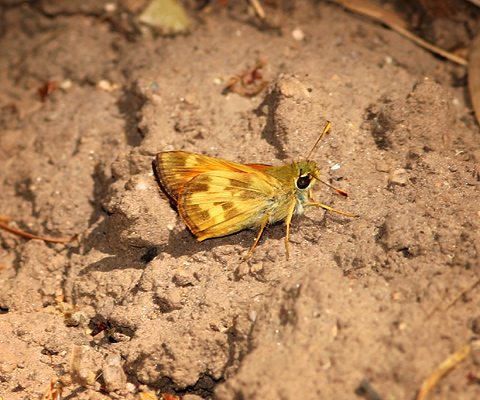 Male Taxiles Skipper (Poanes taxiles) butterfly