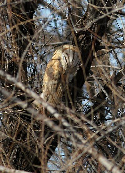 Barn Owl (Tyto alba) sleeping in a tree