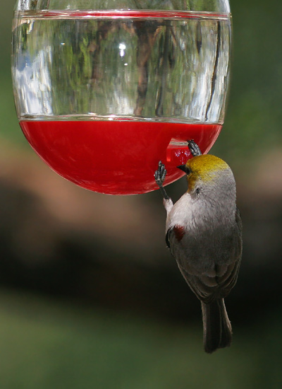 Verdins And Hummingbird Feeders The Firefly Forest