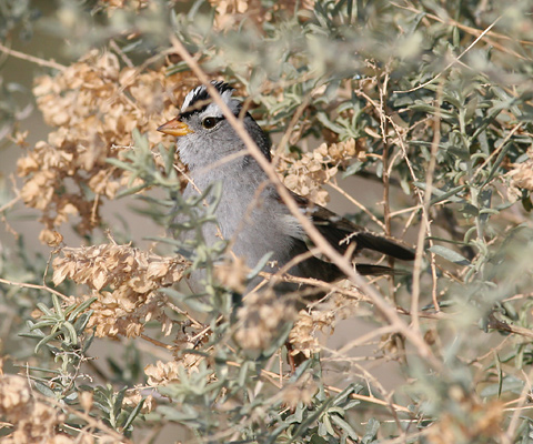 Alarmed White-crowned Sparrow (Zonotrichia leucophrys)