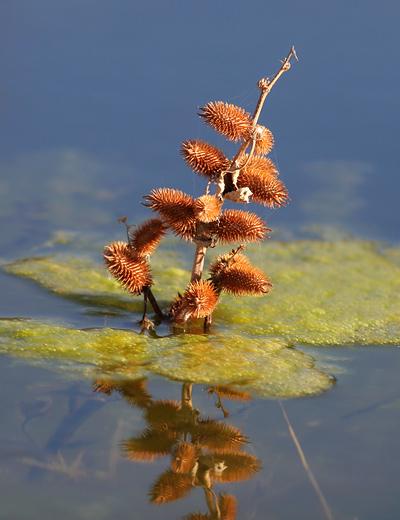 Rough Cockleburr (Xanthium strumarium) - The Firefly Forest