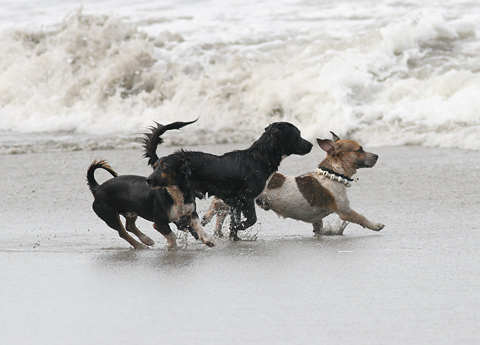 Costa Rican dogs playing on the beach at Manuel Antonio