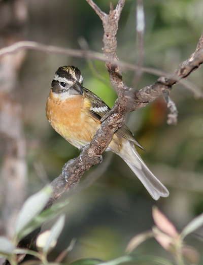 Female Black-headed Grosbeak (Pheucticus melanocephalus)