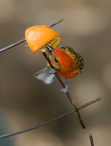Male Flame-colored Tanager (Piranga bidentata) in Madera Canyon, Arizona, 2007