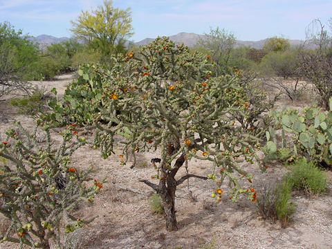 Staghorn Cholla (Cylindropuntia versicolor)