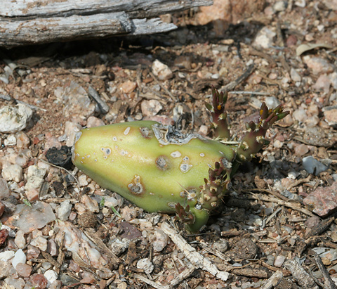 Sprouting Staghorn Cholla (Cylindropuntia versicolor) fruit