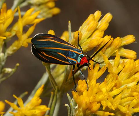 Veined Ctenucha (Ctenucha venosa) moth