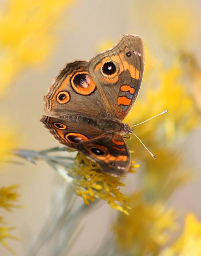 Tropical Buckeye (Junonia genoveva) butterfly