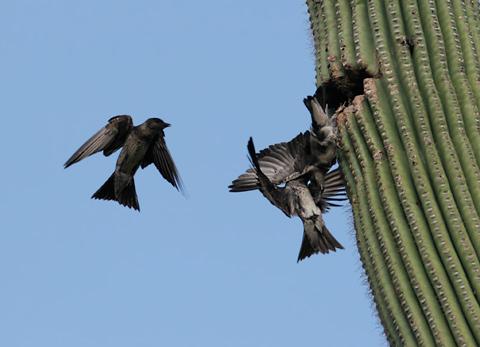 Purple Martins (Progne subis hesperia) fighting over a nest cavity in a Saguaro (Carnegiea gigantea)