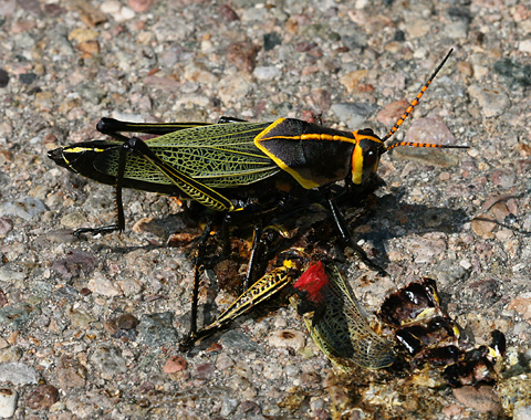 Horse Lubber (Taeniopoda eques) grasshopper cannibalizing another