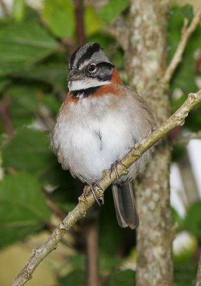 Rufous-collared Sparrow (Zonotrichia capensis)