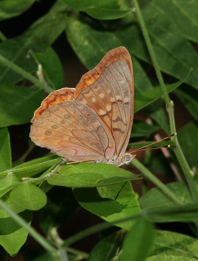 Female Tawny Emperor (Asterocampa clyton)
