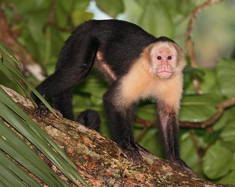 White-faced Capuchin (Cebus capucinus) monkey