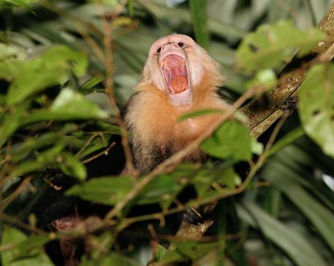 White-faced Capuchin (Cebus capucinus) monkey showing its teeth