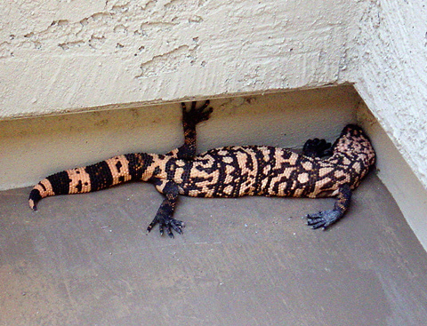 Gila Monster (Heloderma suspectum) photographed by Chuck Harris, Solera at Johnson Ranch in 2007