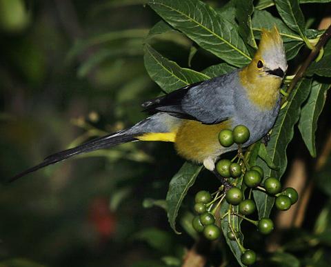 Male Long-tailed Silky-flycatcher (Ptilogonys caudatus)