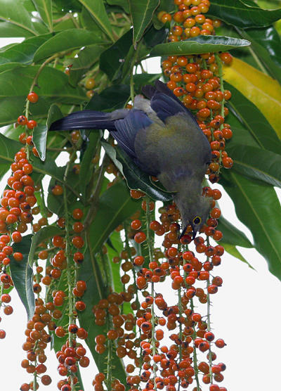 Long-tailed Silky-flycatcher (Ptilogonys caudatus) eating a berry