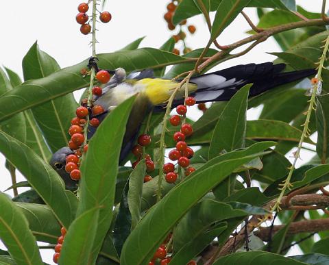 Long-tailed Silky-flycatcher (Ptilogonys caudatus) feeding on berries